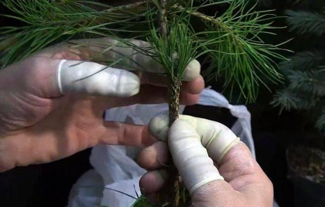 Сосна горная пумилио: посадка и уход, особенности выращивания