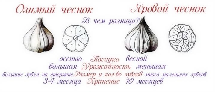 Подкормка лука и чеснока дрожжами
