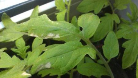 Причины появления и способы устранения белых пятен на листья рассады томатов