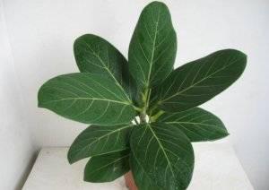 Бенгальский фикус, читайте об уходе за растением в домашних условиях