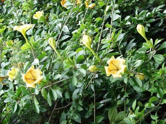 Клеродендрум: уход в домашних условиях, почему растение не цветет, виды, в том числе томпсона, фото