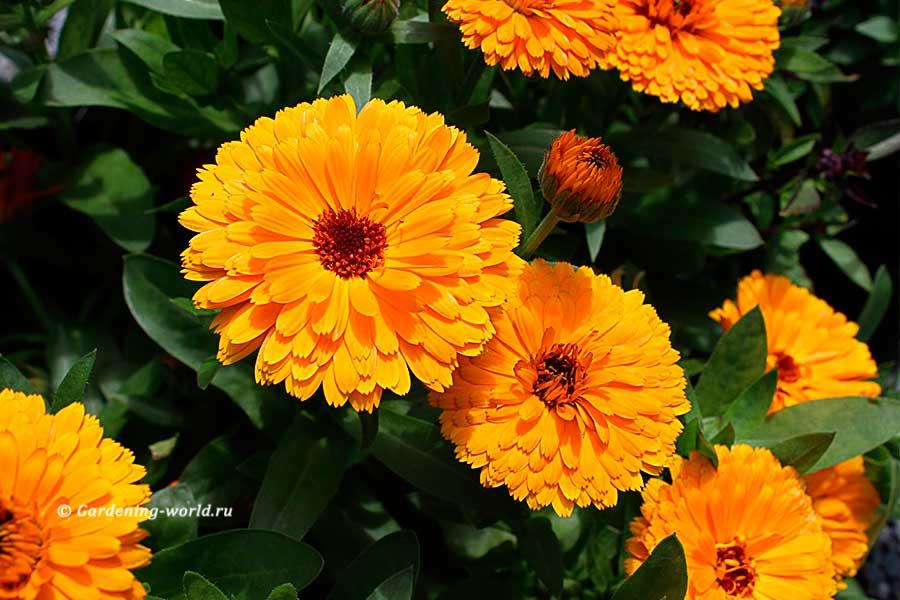 Цветы календула: фото и видео, как вырастить, посадка и уход в открытом грунте, сорта