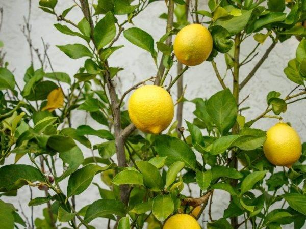 Почему желтеют листья у комнатного лимона