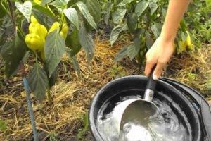 Нужно ли окучивать перцы в теплице и в открытом грунте, как делать