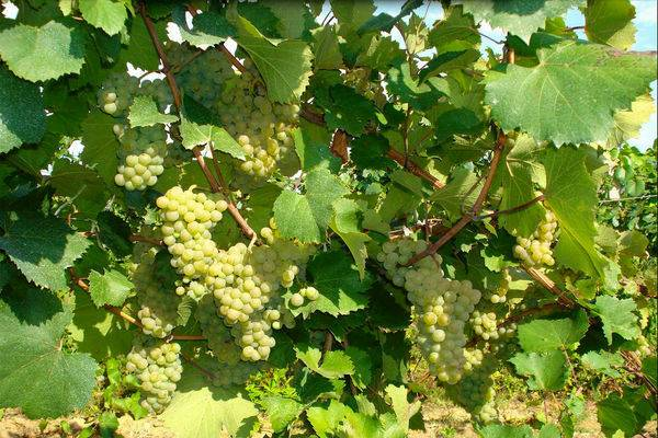 Зеленый виноград: польза и вред для организма