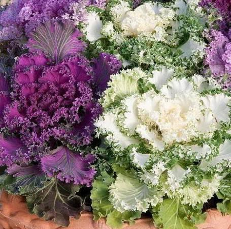Декоративная капуста: фото, посадка, выращивание и уход