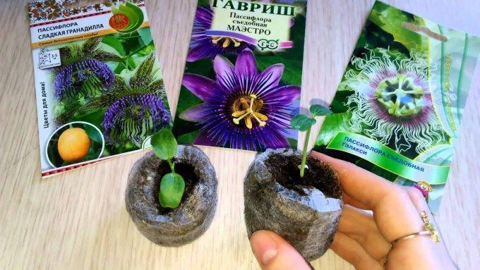 Пассифлора - фото цветка, уход в домашних условиях, выращивание из семян