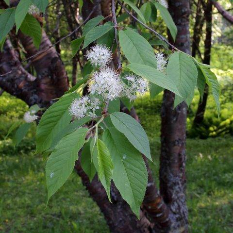 Черемуха: выращивание, посадка, уход, размножение, основные сорта