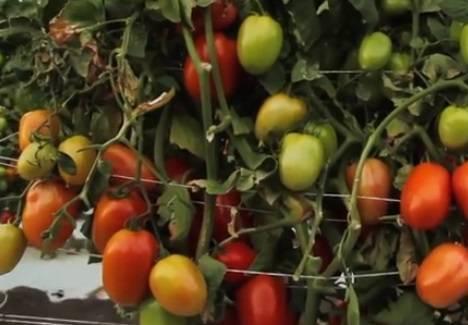Среднеспелый томат рома – неприхотливый универсальный сорт. подробное описание