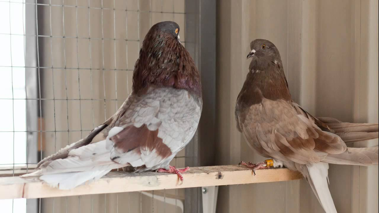 Статные голуби: описание породы, фото