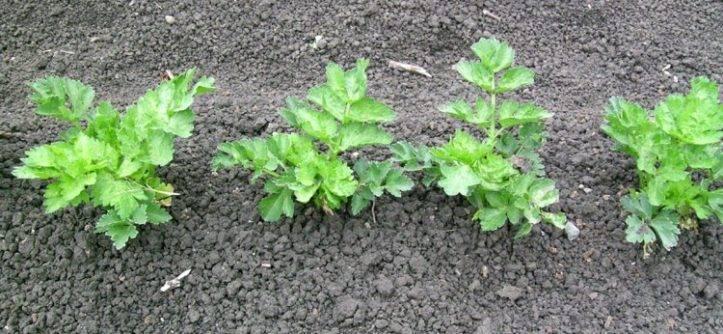 Пошаговое руководство по выращиванию черешкового сельдерея в открытом грунте
