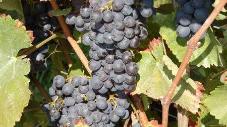 Виноград черный жемчуг: описание сорта, фото и отзывы садоводов