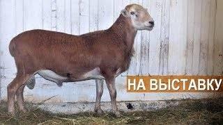 Гладкошерстные катумские овцы: описание, продуктивность, разведение в домашних условиях