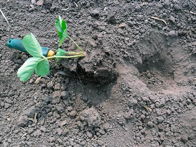 Как и когда сажать клубнику осенью: пошаговая инструкция