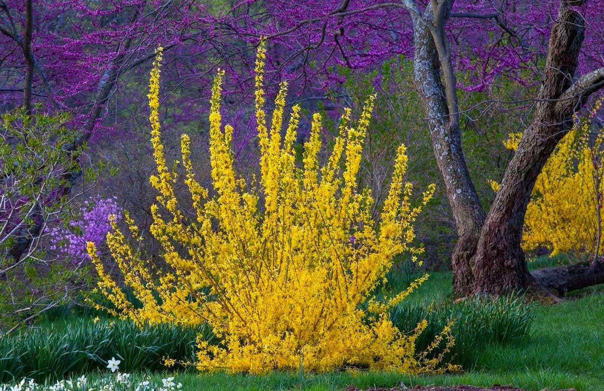 Форзиция: яркий жёлтый кустарник на зависть всем соседям!