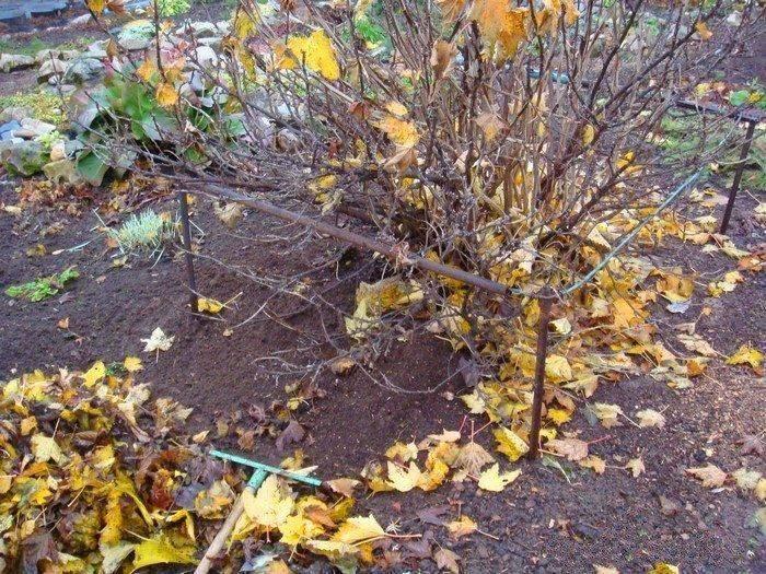 Уход за смородиной после сбора и осенью: подготовка к зиме и под обильный урожай в следующем сезоне |