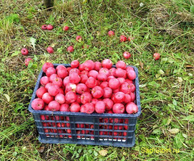 Сорт яблони заветное – описание, фото