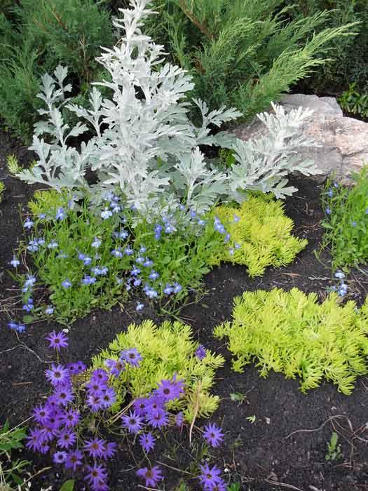 Как высаживать полынь стеллера, какой сорт выбрать и как ухаживать за растением