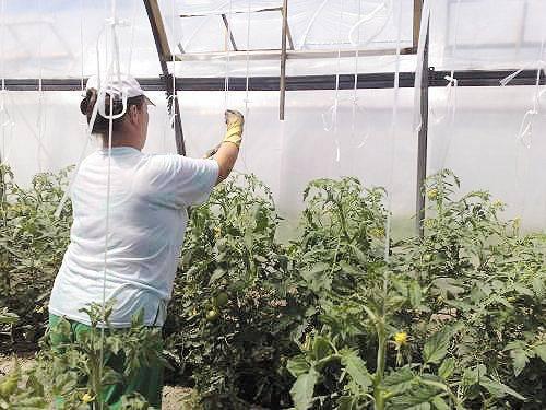 Как подвязать помидоры - 120 фото грамотного выращивания помидор в теплицах