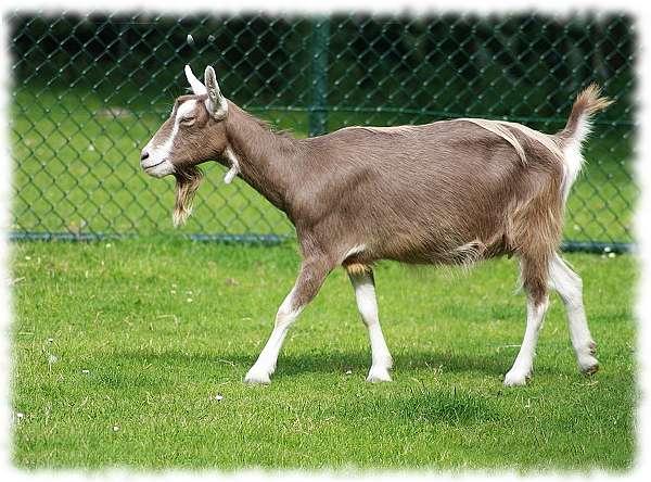 Тоггенбургская порода коз: описание и характеристика