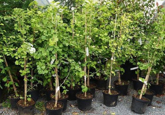 Где растет и как вырастить дерево гинкго билоба в домашних условиях