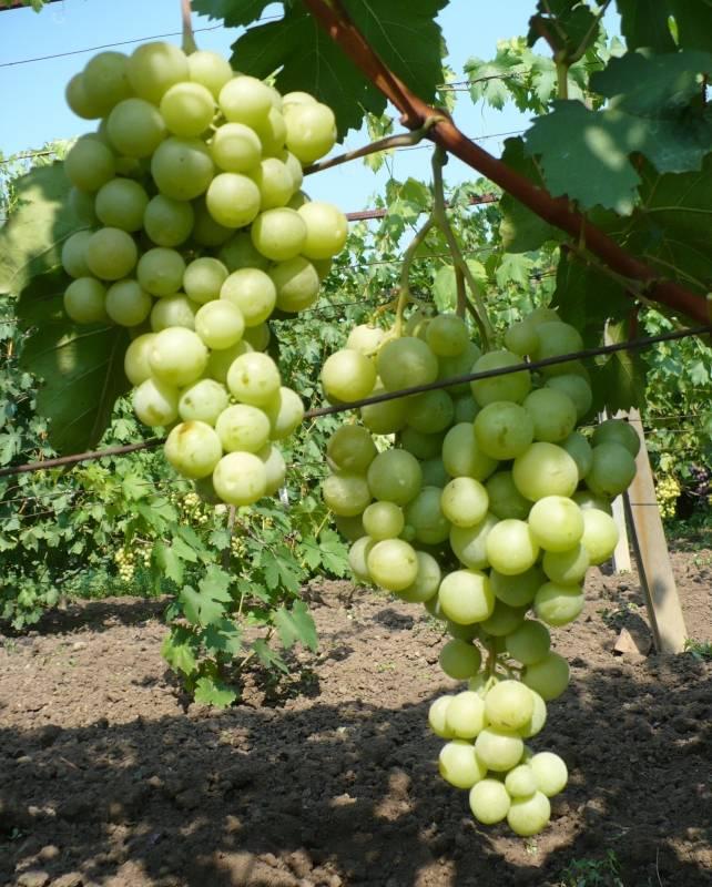 """Сорт винограда """"спонсор"""" : характеристика и описание, особенности ухода и отзывы с фото"""