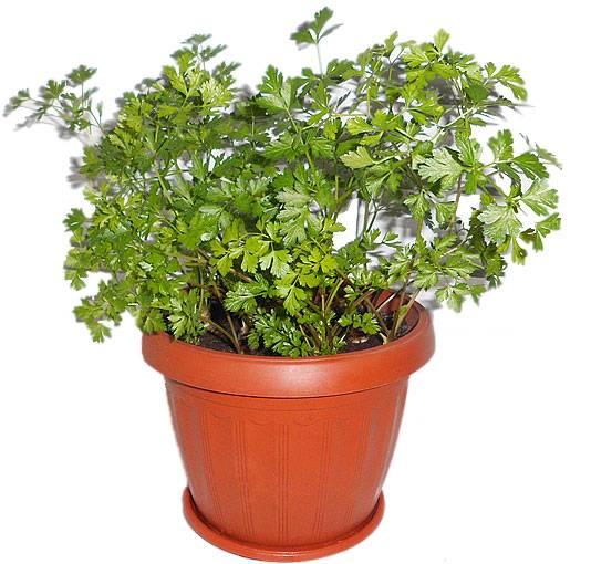 Петрушка на подоконнике. выращивание в домашних условиях, в квартире на окне, балконе, в горшке. подготовка и обработка семян