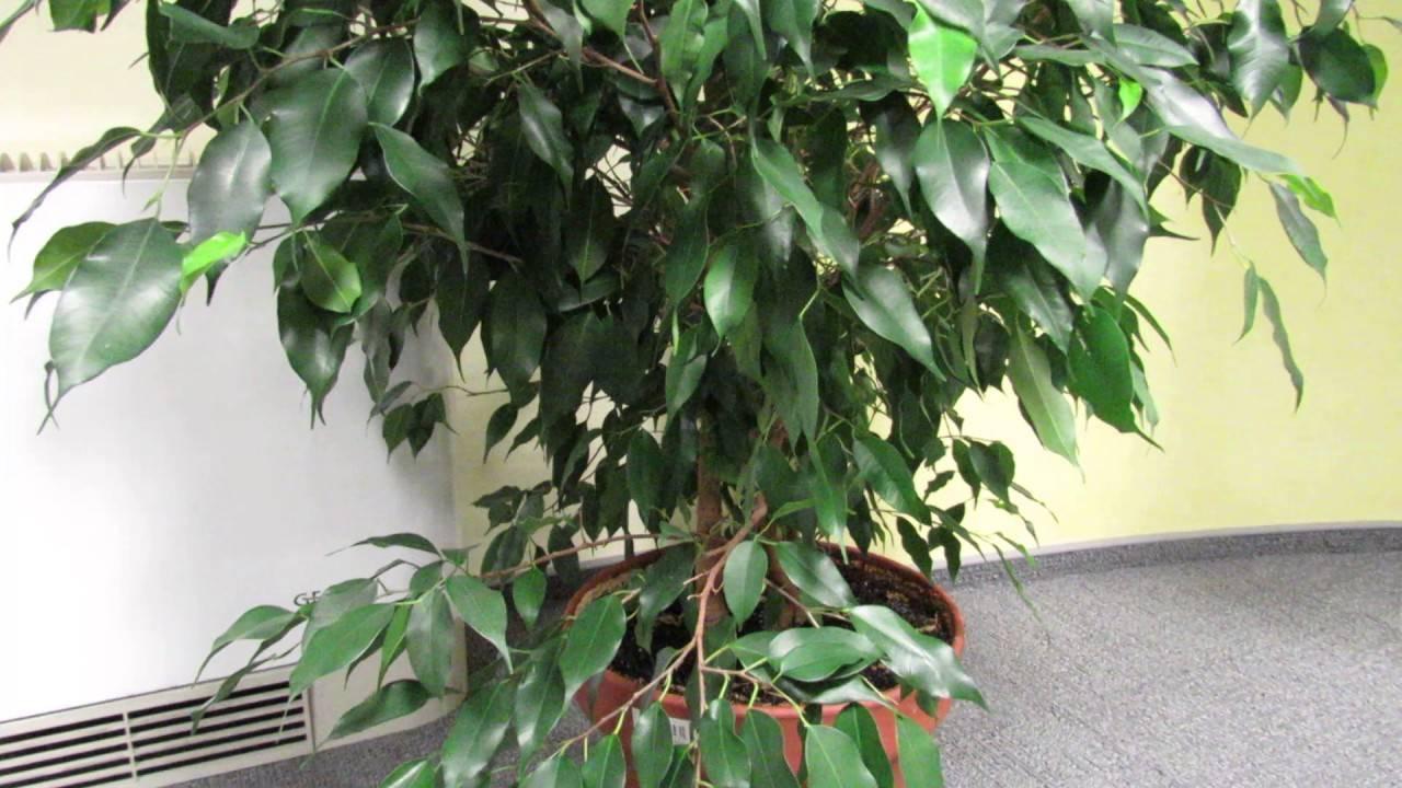 Причины и лечение опадания листьев у фикуса бенджамина