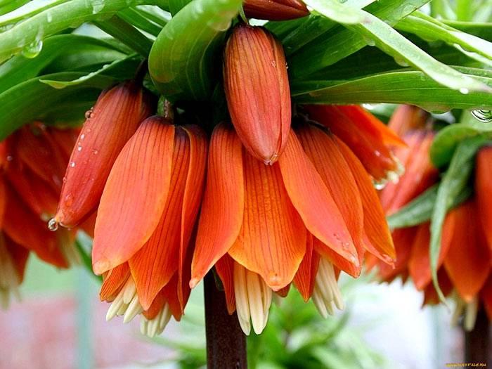 Рябчик императорский, посадка и уход – когда сажать весной и осенью, почему не цветет + фото