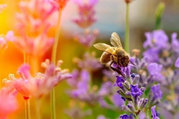 Однолетние и многолетние медоносные растения и травы, высеваемые специально для пчел: список и таблицы с фото однолетние и многолетние медоносные растения и травы, высеваемые специально для пчел: список и таблицы с фото