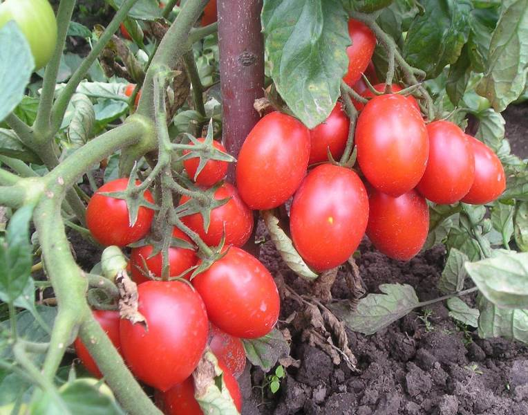 Как вырастить вкусные томаты сорта «челнок» и собрать хороший урожай