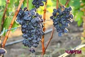 Виноград домашний чарли
