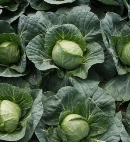 Обзор лучших сортов белокочанной капусты с фото и описанием |