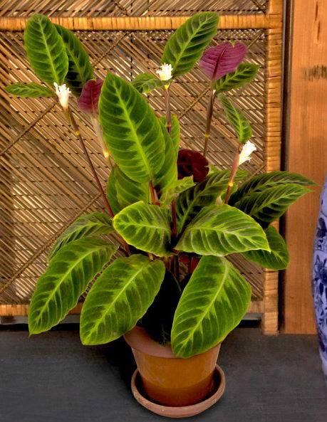Цветок калатея: особенности ухода и содержания в домашних условиях, правила полива, пересадки и размножения