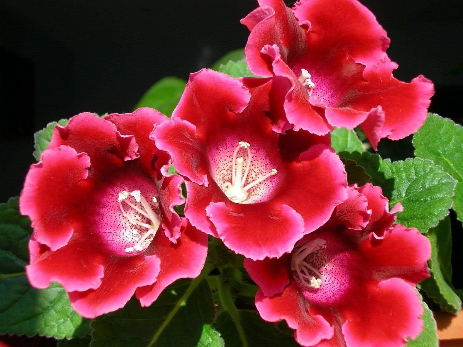 Глоксиния: как вырастить цветок в домашних условиях