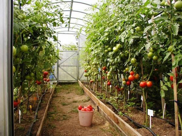 2 способа выращивания высокорослых помидоров, а также схема посадки томатов в теплице