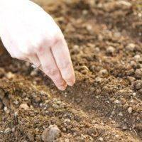 Посадка петрушки в 2020 году: сроки, выращивание и уход