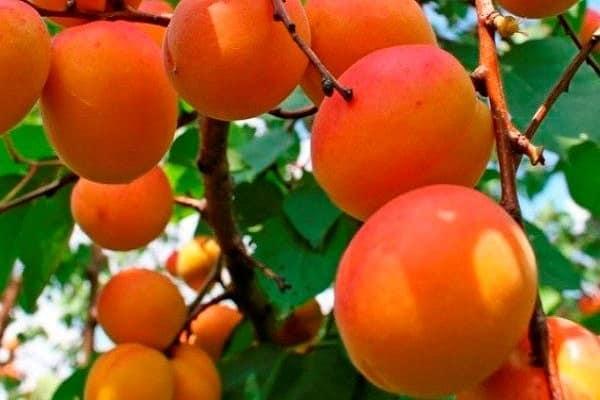 Достоинства выращивания среднепозднего сорта абрикоса погремок
