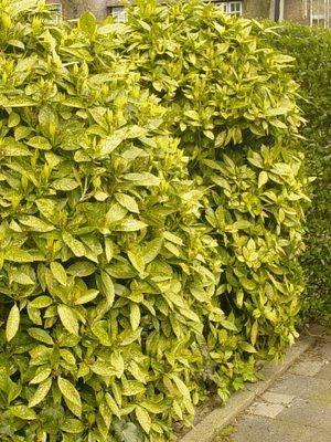 Вечнозеленые растения для сада: названия и фото