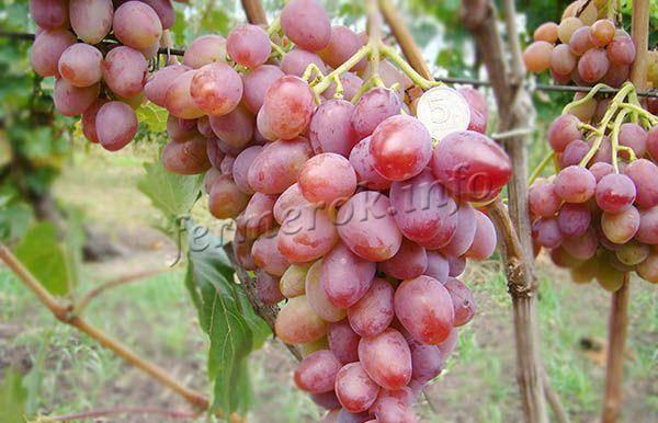 Урожайный и скороспелый виноград восторг черный