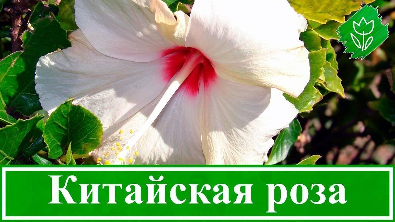 Гибискус (китайская роза): описание и уход, посадка, размножение, отзывы и фото - sadovnikam.ru