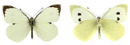 Борьба с бабочкой капустницей эффективными средствами