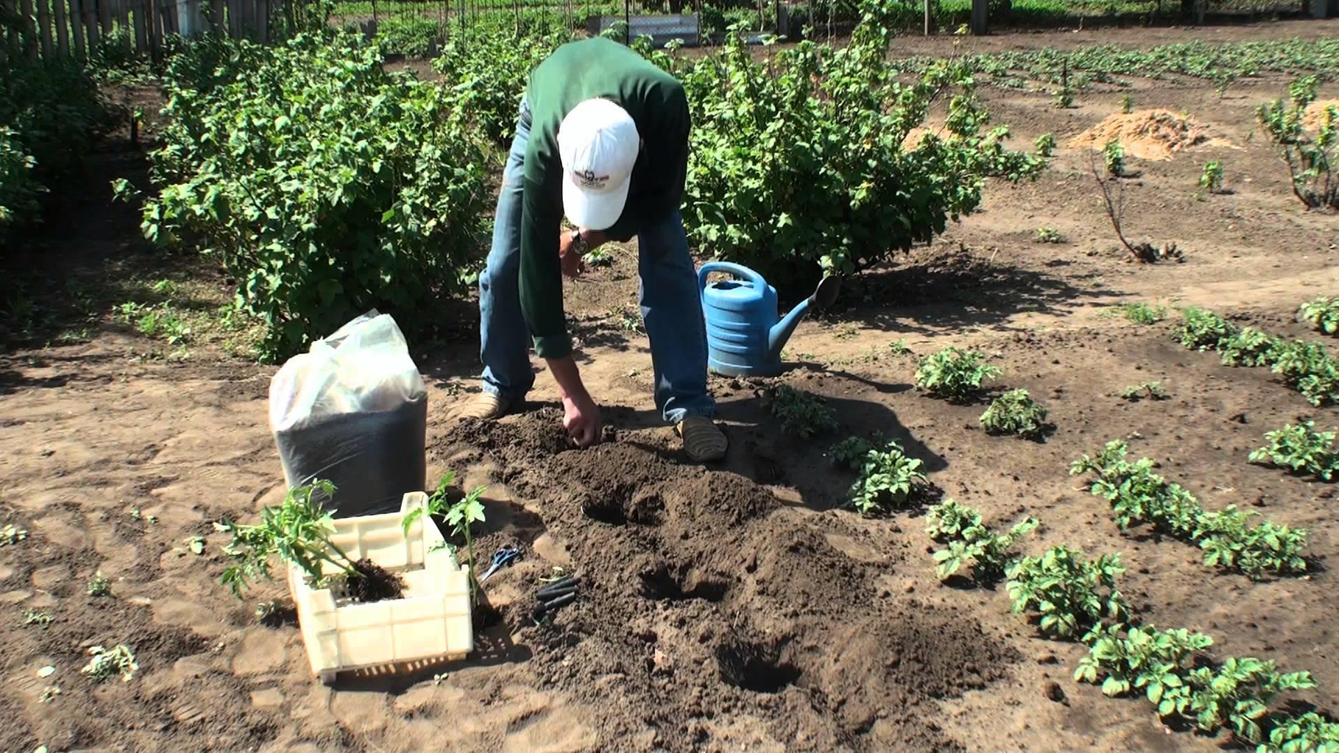 Когда и как правильно сажать кабачки в открытый грунт