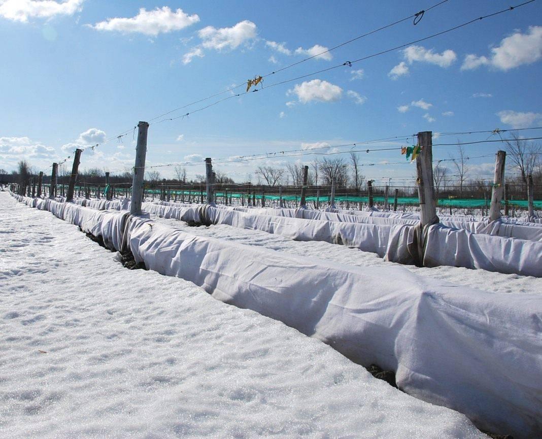 Способы укрытия молодого винограда на зиму