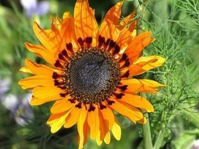 Выращивание венидиума из семян когда сажать на рассаду
