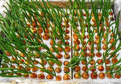 Лук на гидропонике: выращивание зеленого вида в домашних условиях, гидропонные установки своими руками, сорта, подходящие для этого метода