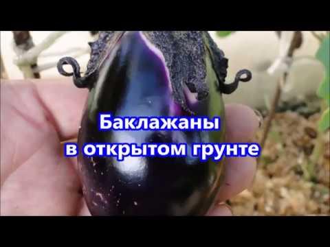 Как вырастить баклажаны в открытом грунте - посадка и уход