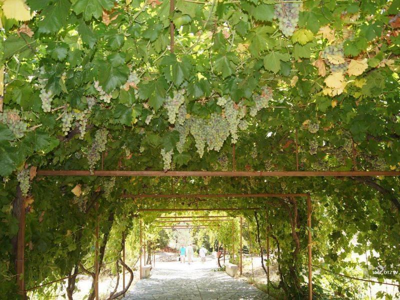 Посадка винограда весной: как посадить саженцами или черенками, видео для начинающих