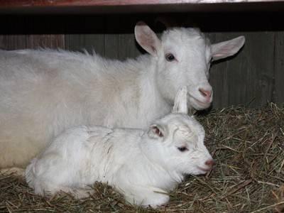 Как раздоить козу?