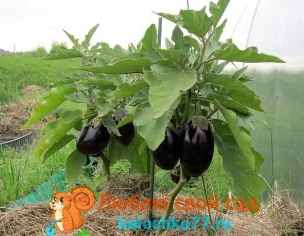 Как пасынковать баклажаны правильно в теплице и открытом грунте, для чего это нужно, когда начинать, надо ли обрывать лишние цветы и пошаговый алгоритм действий